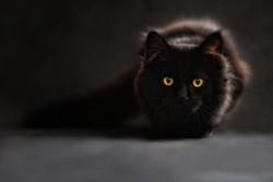 gat negre
