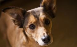 perro-endocardiosis-mitral