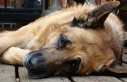 pastor aleman torsion estomago GDV perro urgencia