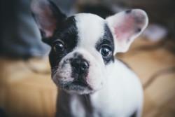 estenosis-pulmonar-bulldog