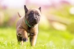 puppy-defectos-septo
