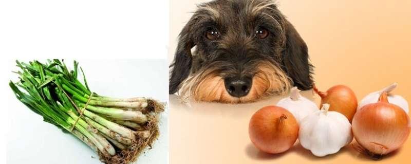 perro toxico intoxicacion calçot anemia hemolitica urgencia mucosas palidas