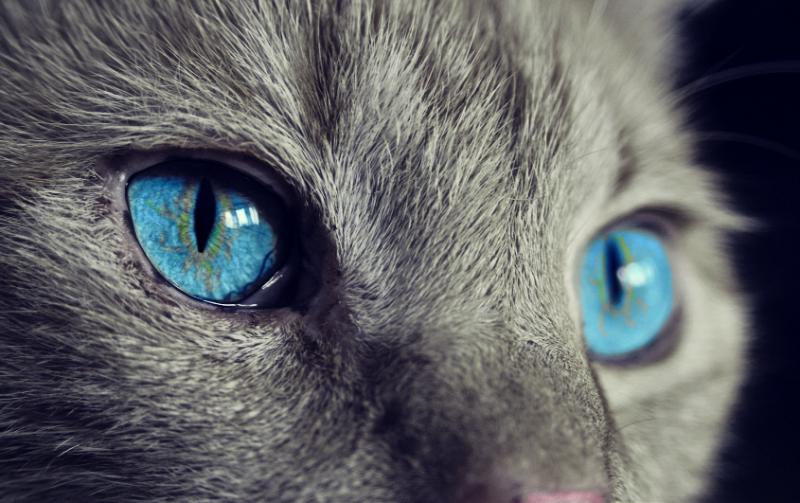 gato córnea peq