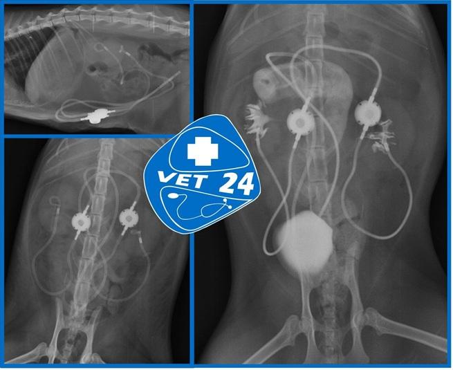 Bypass ureteral bilateral en un gato con estenosis ureteral bilateral. Radiografia simple y con contraste