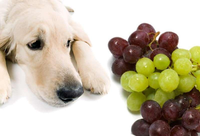 perro uvas intoxicacion pasas fallo renal toxico alimentos veterinaria