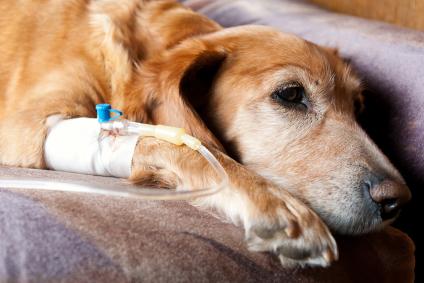 perro intoxicación uvas pasas fluidoterapia fallo renal