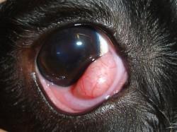 Cherry eye prolapso glándula membrana nictitante tercer párpado