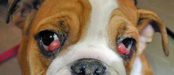 Cherry eye prolapso glándula membrana nictitante tercer párpado bulldog ingles