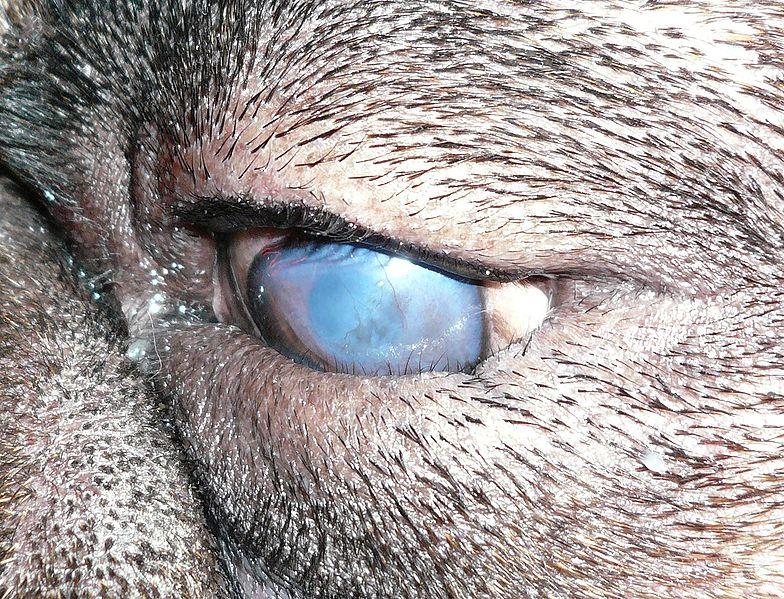 Entropion enfermedades parpados ulcera corneal queratitis crónica shar pei