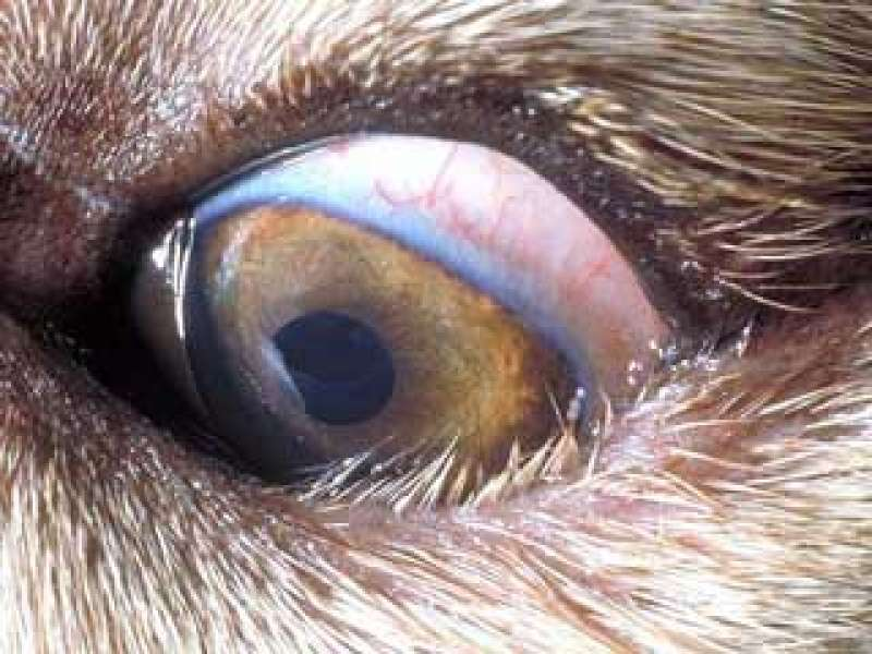 Entropion enfermedades parpados ulcera corneal queratitis crónica