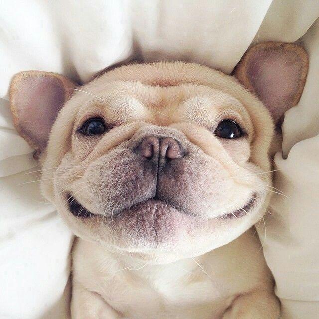 entropion bulldog frances feliz
