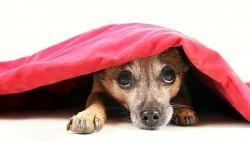 fobia petardos fuegos artificiales miedo perro escondido terror