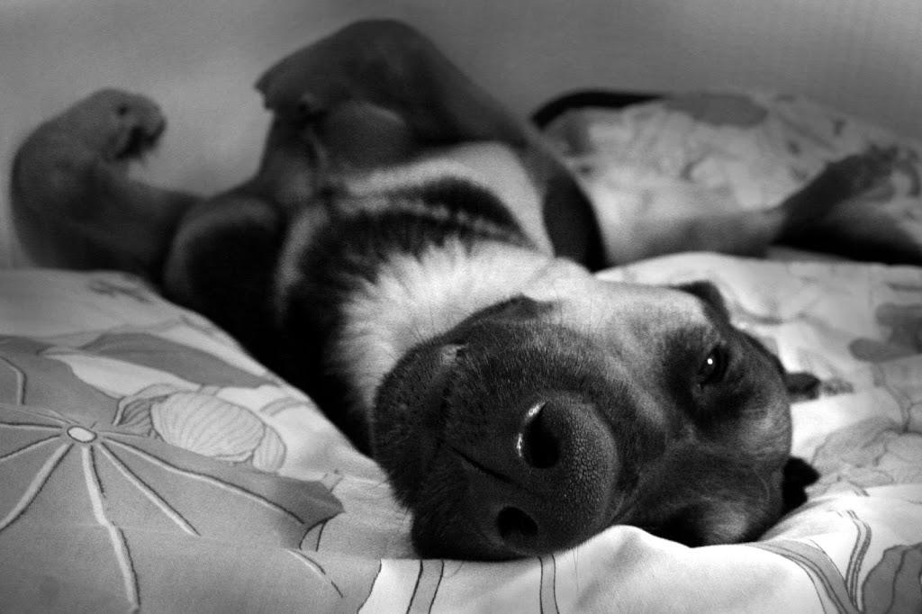 epilepsia congenita idiopática perro cansado post ictal convulsiones