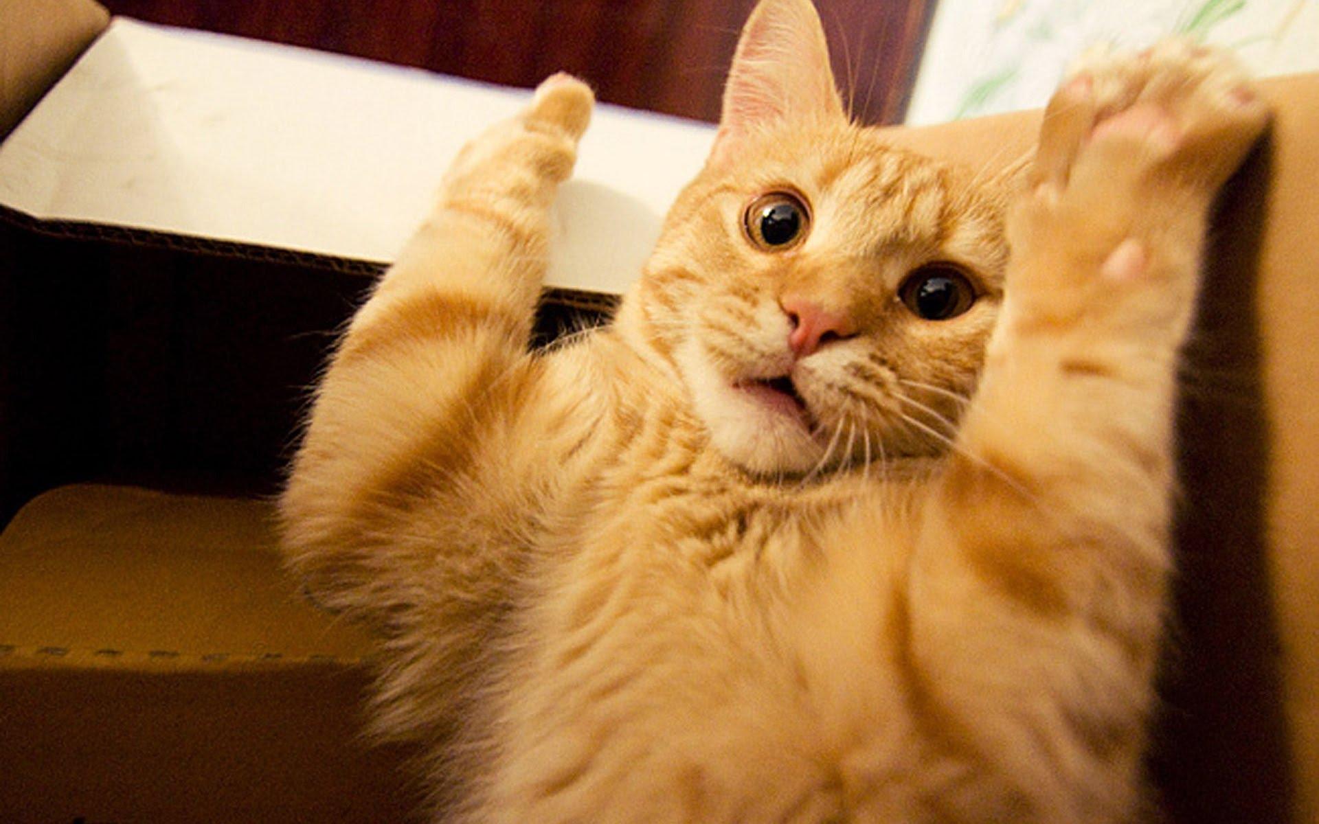 gato pipeta contorl pulgas cuidado