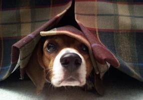 fobia petardos fuegos artificiales miedo perro escondido