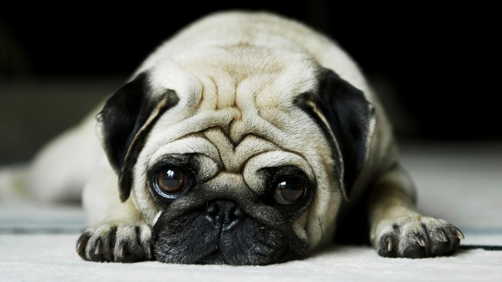 convulsion perro triste