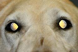 atrofia progresiva retina perro golden retriever catarata toxica hiperreflectividad tapetal