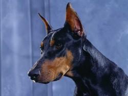 La-cardiomiopatia-dilatada-del-perro