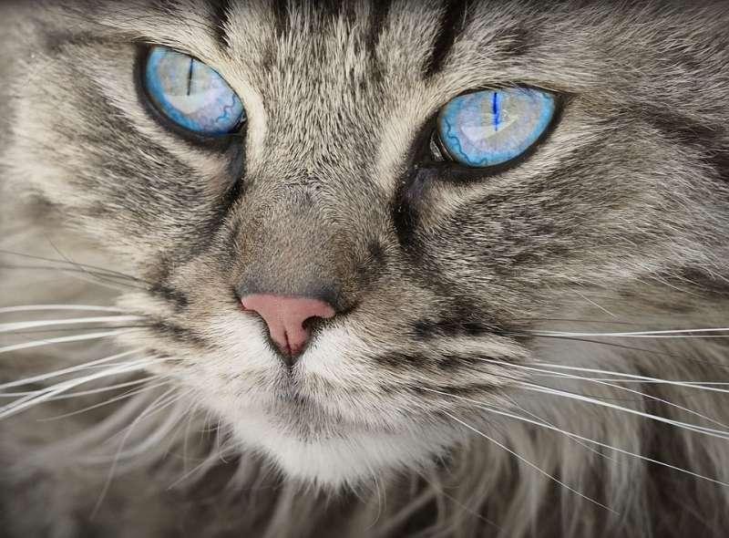 gato portada gingivoestomatitis felina
